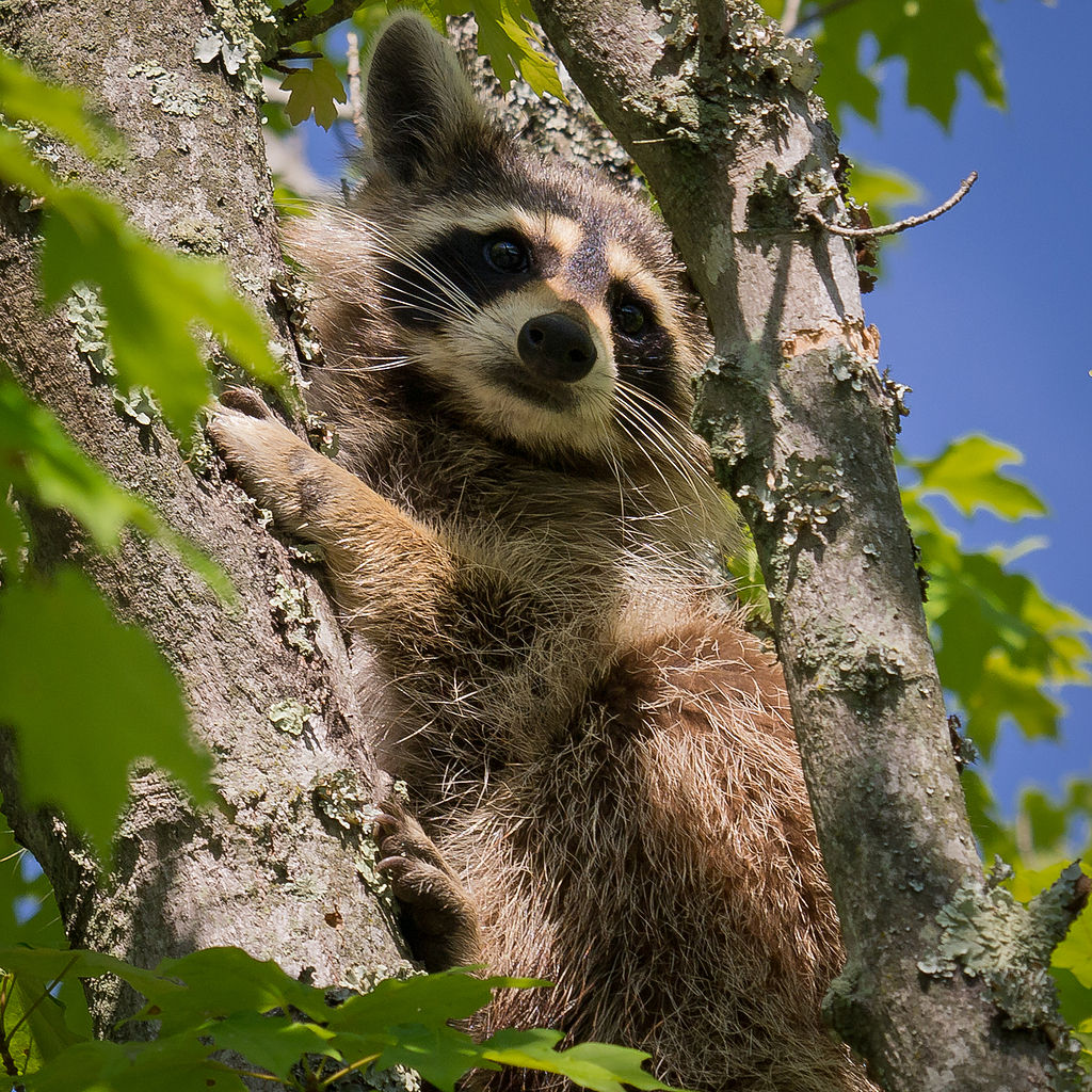 1024px-Raccoon-27527-2