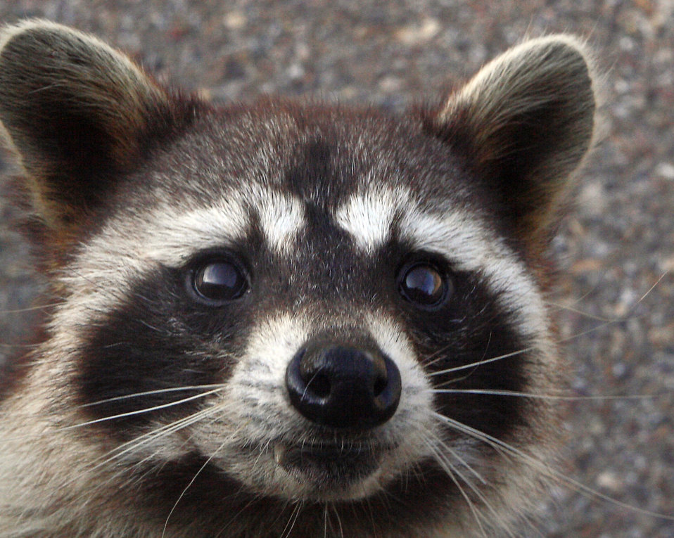 16556-close-up-view-of-a-raccoon-pv